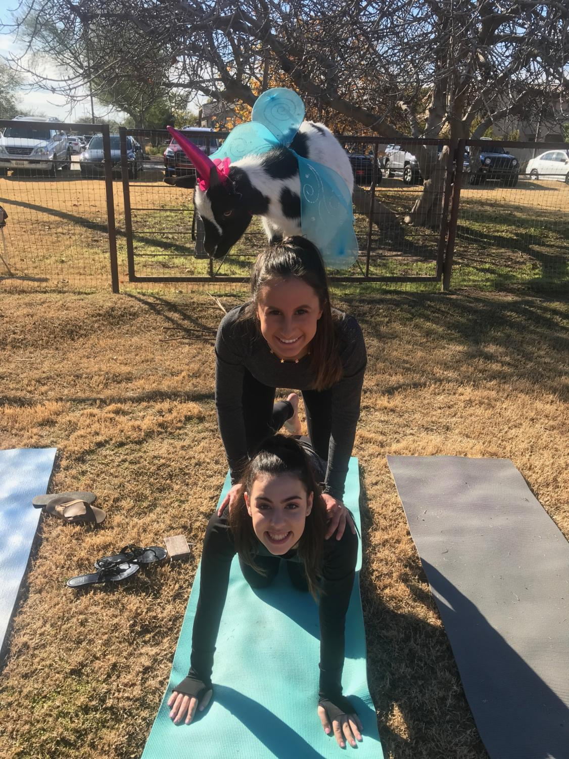 Another couples pose similar to a totem pole of Kit Blouin '20, Olivia Petrine '20 and a fairy-unicorn goat. This is one of the more simpler poses that one can perform with the goats. Pictured by an unknown yogi.