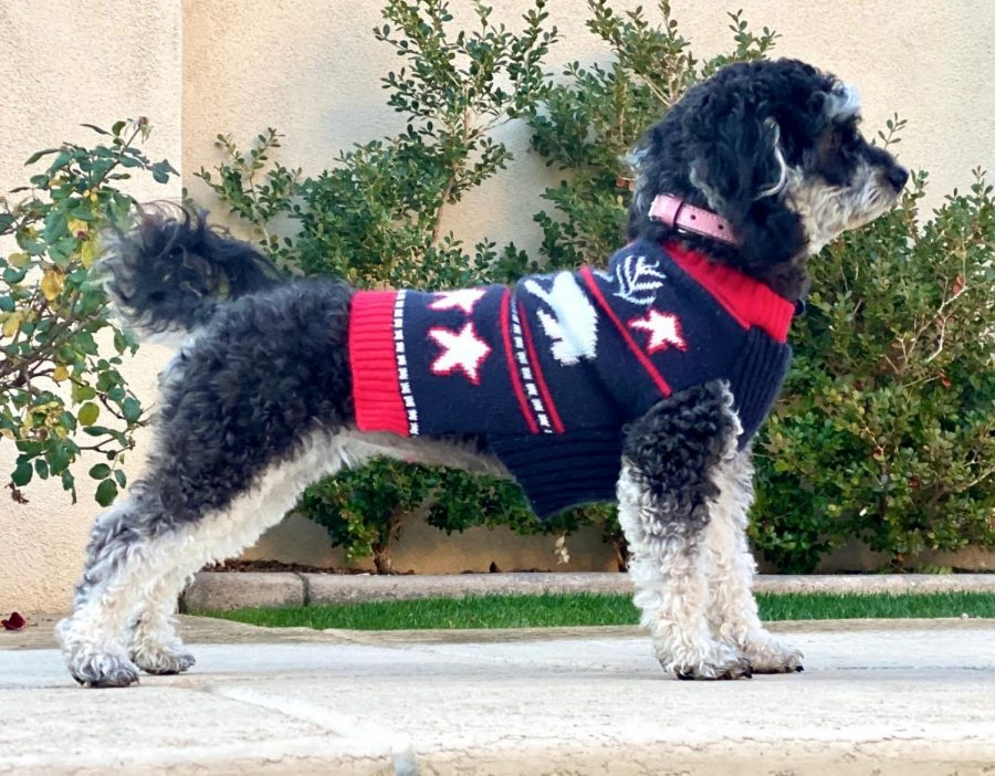 Socks poses in her Christmas sweater